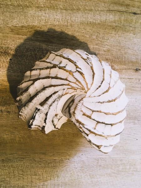 Nautilus, Palmholz, Weiß; B ca. 12 cm